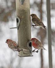 Photo: House Finches front, back, and sideways..at the kitchen window.