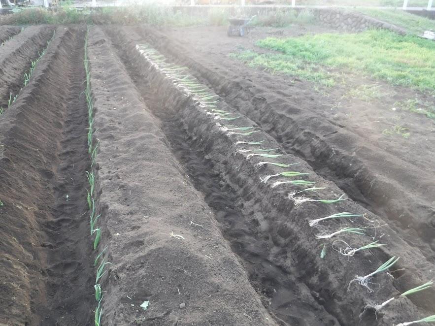 こうやって、15㎝間隔に苗を置いてから定植すると楽でした。この日は、14m×6本定植できました。