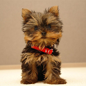 Yorkshire Terrier Dog Wallpape icon