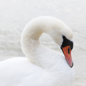 A Swan by Stoyan Baev - Animals Birds ( bird, nature, white, swan, beauty, close up )