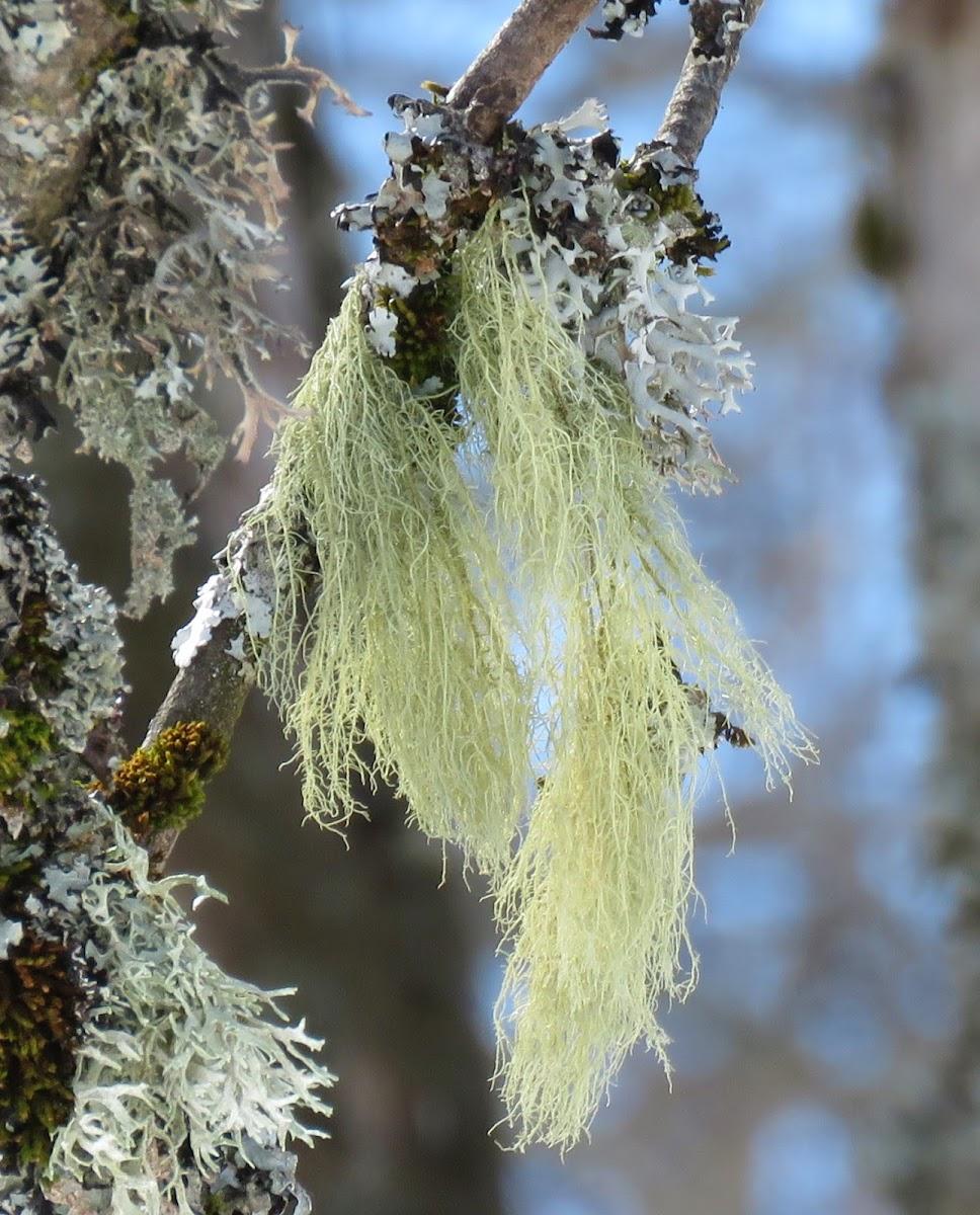 Horsehair Lichen