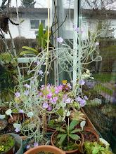"Photo: Byblis 'Goliath' (B. filifolia ""branching"")"