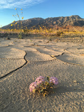 Photo: Sand verbena, Death Valley National Park.