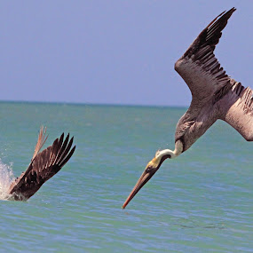 Head First by Steve Shelasky - Animals Birds ( shorebirds, dive, hunt, pelicans, brown pelicans, birds,  )