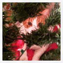 Photo: Hide & Seek with Mr. Tom #intercer #pet #pets #cat #cats #petsofinstagram #catsofinstagram #christmas #hide #tree #green #funny #pretty #face #ornaments #look - via Instagram, http://instagram.com/p/xQr_7bJfvG/