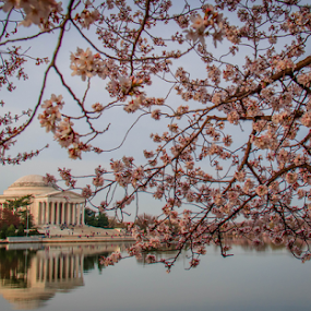 Jefferson Memorial with cherry blossoms by Dale Youngkin - Buildings & Architecture Statues & Monuments ( cherry blossom festival, jefferson memorial, washington dc, cherry blossom, tidal basin )