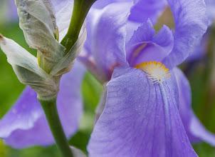 Photo: Iris on the property.
