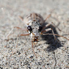 Ghost Tiger Beetle