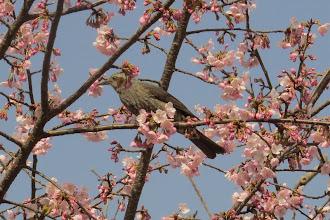 Photo: 撮影者:中村后子 ヒヨドリ タイトル:ヒヨドリ 観察年月日:2015年3月23 羽数:20± 場所:北浅川・小田野中央公園 区分:行動 メッシュ:拝島1A コメント:満開の桜の木の花をついばんでいた・