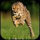 Cheetah Wallpapers Android apk