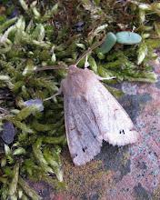 Photo: Twin-spot Quaker moth © Keith Gittens 2015