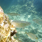 Golden grey mullet