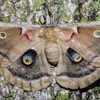 Polyphemus Moth - 7757