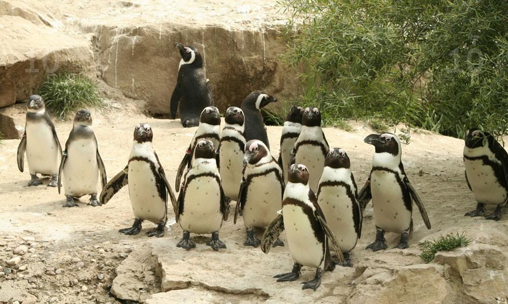 Пингвины Берлинского зоопарка