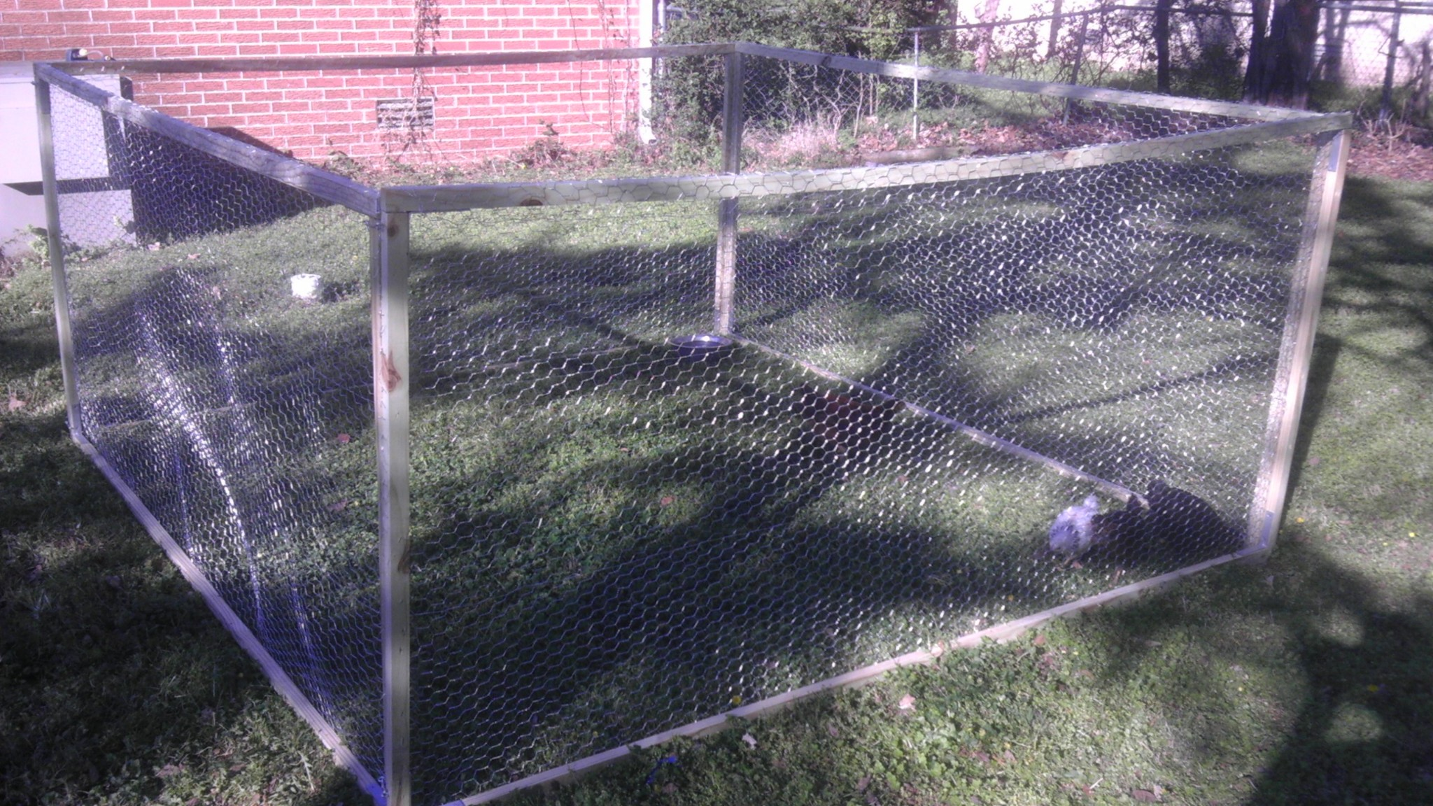 Photo: The chickens in their back yard run