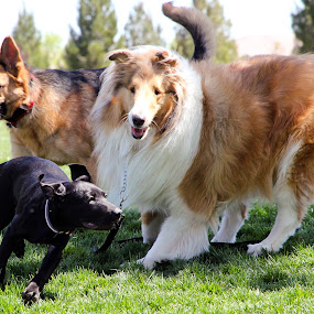 DogNADO!!!! by Liesl Ross Photos - Animals - Dogs Playing ( playing, collie, dogs, frolicking, frolick, german shepard, lab )