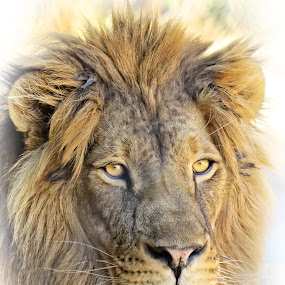 African Lion by Nancy Young - Animals Lions, Tigers & Big Cats ( face, lion, zoo, animal,  )