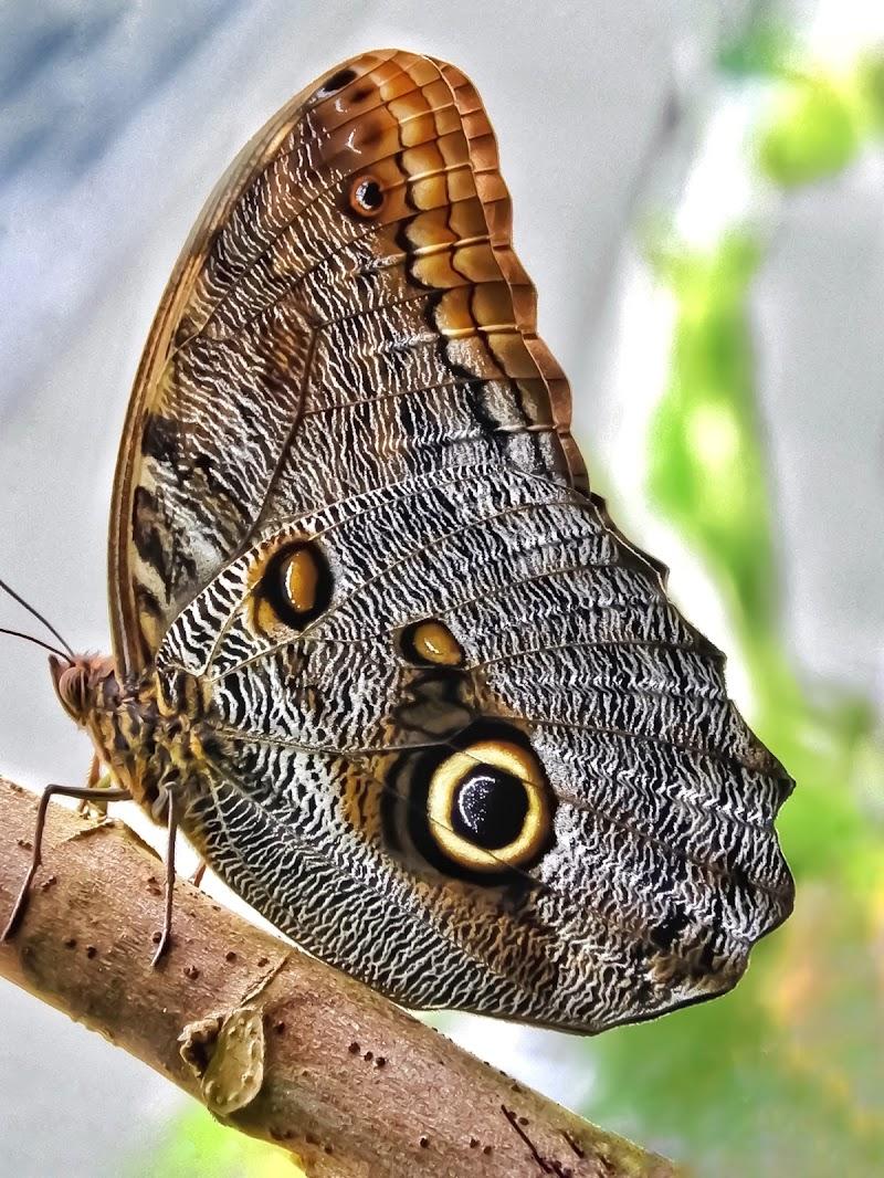 Farfalla gufo  di Capirizzo