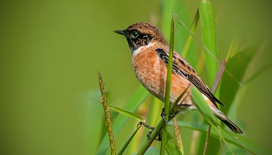 Stonechat by Shobin George - Animals Birds ( bird )