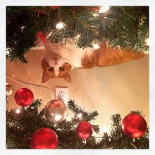 Photo: Mr. Tom hides under the tree #intercer #cat #cats #pet #pets #petsofinstagram #catsofinstagram #tree #christmas #hide #cute #pretty #globes #ornaments #funny #lights - via Instagram, http://ift.tt/1E5FmBl