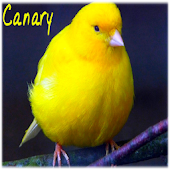 Canary singing