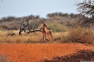 Photo: Impala with broken horn at the Haak en Steek waterhole,  Mokala National Park.