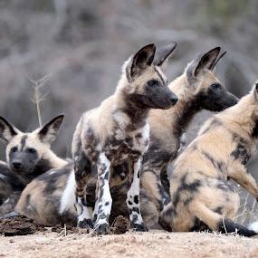 wild dogs by Fred Goldstein - Animals Other Mammals ( wild, alert, south africa, dog,  )