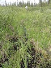 Photo: Колея...или оленья тропа? но все легче, чем по березке драться