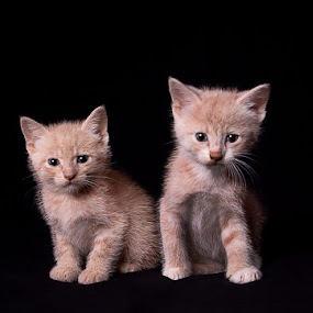 twins by Melanie Ayers Wells-Photography - Animals - Cats Portraits ( cats, orange, pets, kittens, tabby )