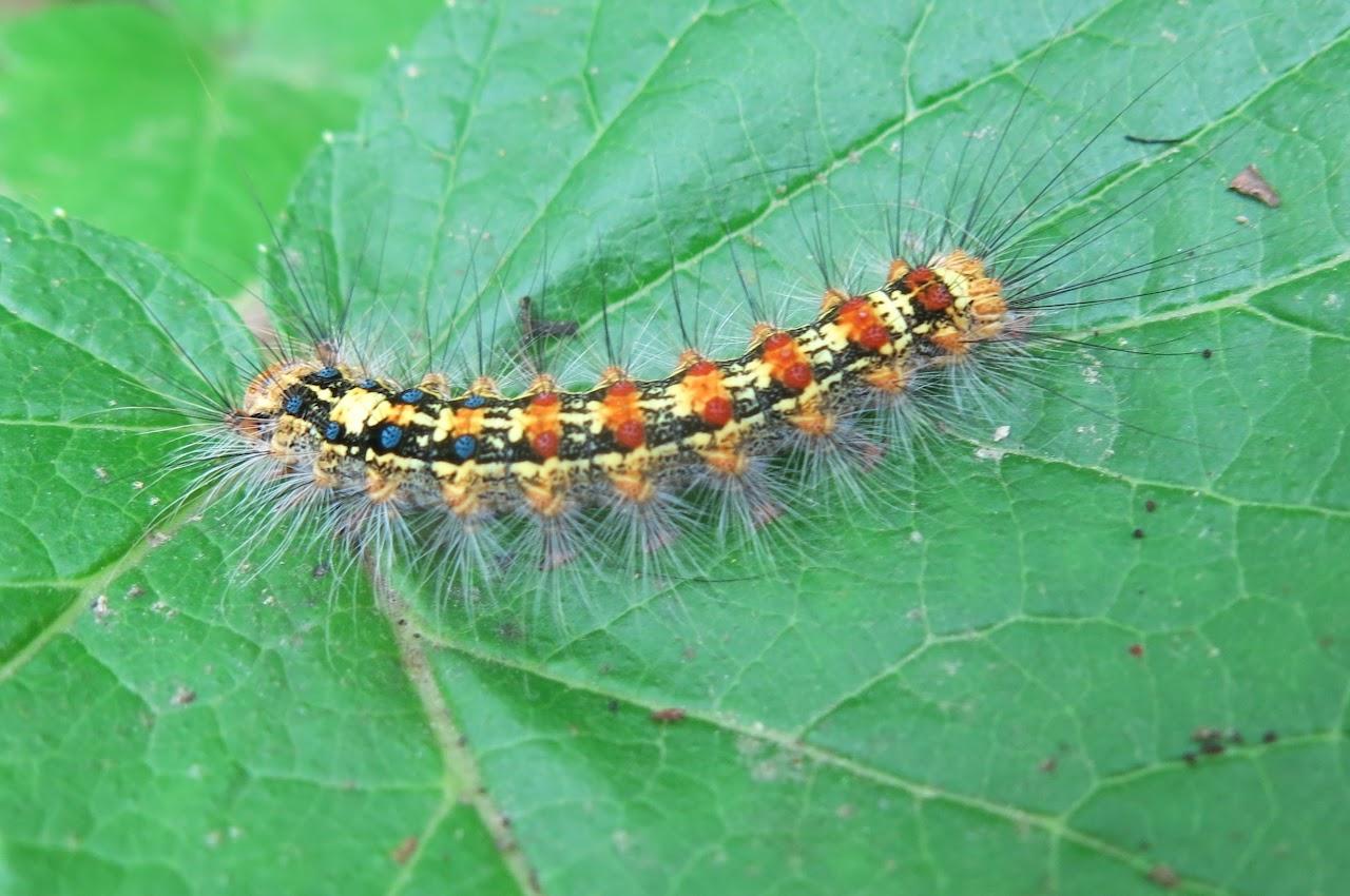 гусеница непарного шелкопряда