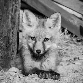 Red Fox Kit by Debbie Quick - Black & White Animals ( red fox, debbie quick, outdoors, mammal, nature, adirondacks, animal, black and white, wild, debs creative images, fox, wildlife )