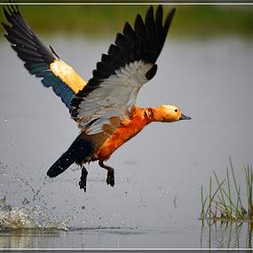 Ready to take off by Subroto Mukherjee - Animals Birds ( migratory, splash, duck, birds, in flight )