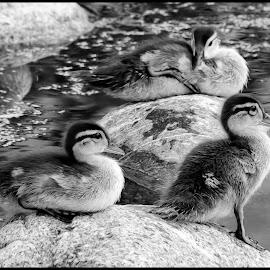 Wood Ducks by Dave Lipchen - Black & White Animals ( wood ducks )
