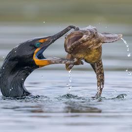 Cormorant with Fish by Carl Albro - Animals Birds ( waterfowl, double-crested cormorant, bird, fish, cormorants )
