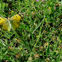 Clouded yellow (on the wing)