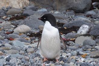 Photo: Adelie Penguin (threatened)