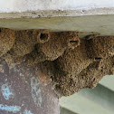 Fairy Martin (mud nests)