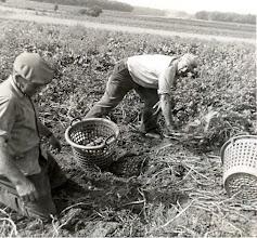 Photo: aardappelkrabben: Jan Oosting en Sien Kleef
