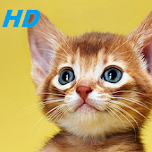 kitten wallpapers HD free special for you