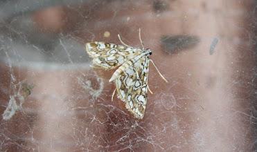 Photo: Elophila nymphaeata  Lepidoptera > Crambidae