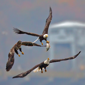 Three Eagles, One Fish by Herb Houghton - Animals Birds