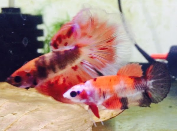 Koi fancy plakat female x dalmation marble butterfly for Male koi fish