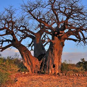 Colori del tramonto by Vito Masotino - Novices Only Landscapes ( natura, baobab, tramonto, africa, alberi,  )