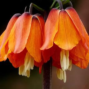 by Ramade Genevieve - Flowers Single Flower (  )