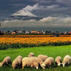 Sheep flowers and volcano by Cristobal Garciaferro Rubio - Animals Other