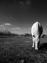 Photo: Black and white photo of a horse grazing on a farm at Carriage Hill Metropark in Dayton, Ohio.