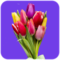 Tulip Wallpaper HD APK