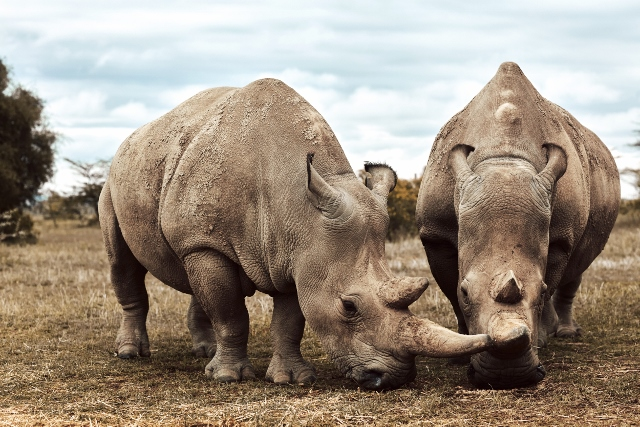 Northern white rhinoceros are on the very brink of extinction. The two females left alive are living at the Ol Pejeta Conservancy in Kenya. Picture: BBC NATURAL HISTORY UNIT/ALEX BOARD