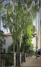 Photo: Mesteacan (Betula) - de pe Str. Dr. Ioan Ratiu, Nr.44