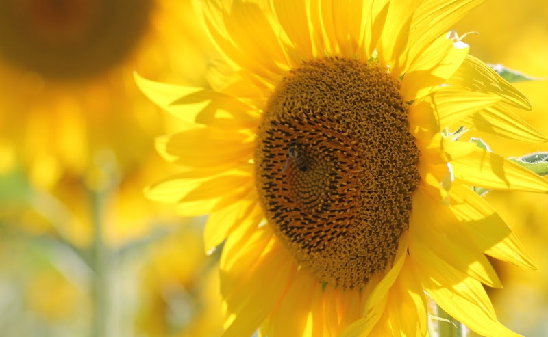 giallo puro di Laura Gentili